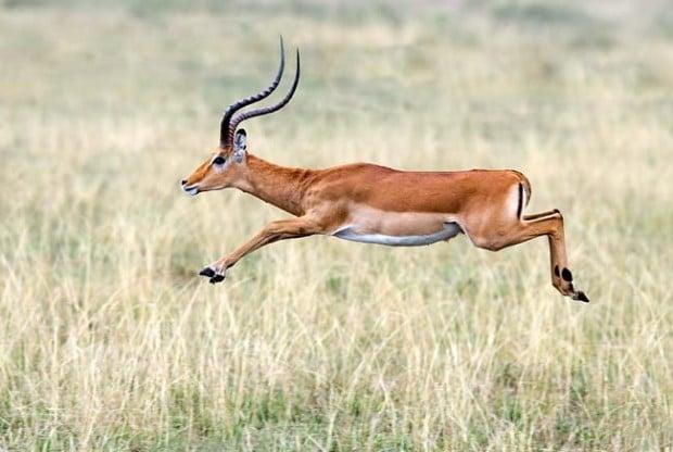 impala-leap