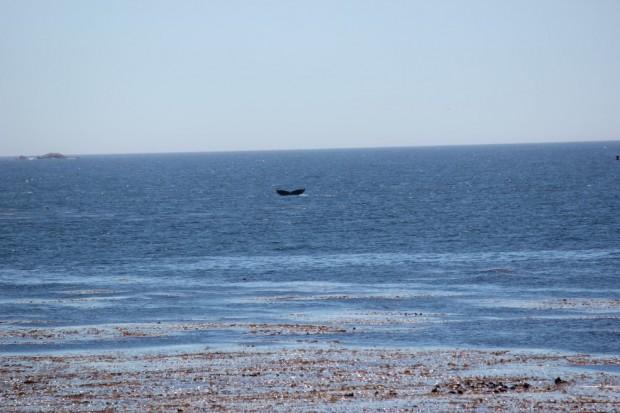 64- baleia