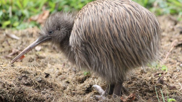 southern-brown-kiwi-tokoeka-stewart-island-photo-credit-alina-thiebes1920