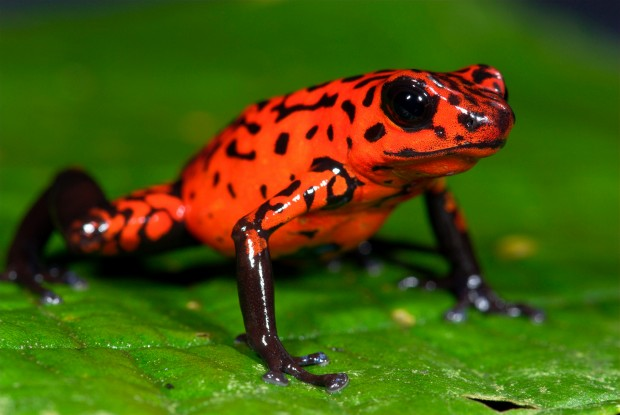 06 Dec 2011 --- Strawberry Poison Dart Frog (Oophaga pumilio), Guayacan, Costa Rica --- Image by © Robert Pickett/Visuals Unlimited/Corbis